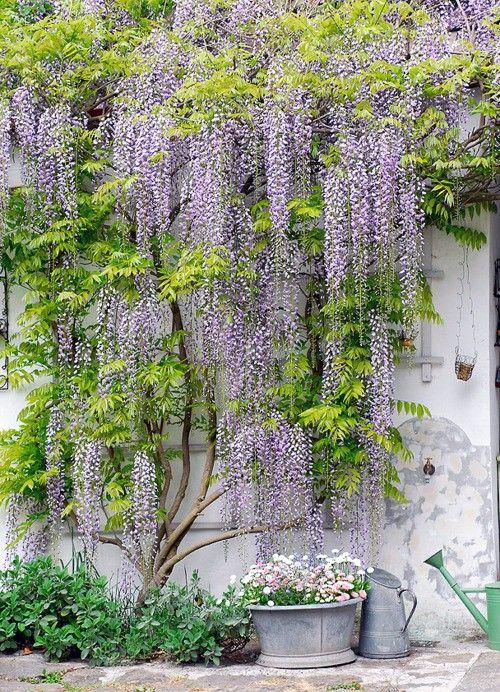 wall wisteria