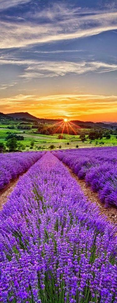 Sunset,lavender fields,Provence, FranceMore Pins Like This One At FOSTERGINGER @ PINTEREST No Pin Limitsでこのようなピンがいっぱいになるピンの限界