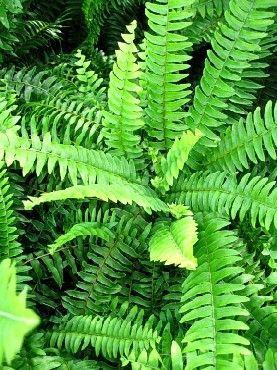 La fougère de Boston ou Nephrolepis exaltata 'Bostoniensis' est une plante d'intérieur qui apporte une touche de verdure dans les appartements et les vérandas. Cette plante d'origine tropicale est résistante et facile à entretenir, à condition de lui procurer une atmosphère humide et une bonne luminosité., par Audrey