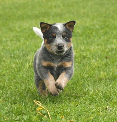 Australian Cattle Dog pup  This Pup reminds me of a pup I once had that was born totally deaf! A real pity, She would have turned out to be great!