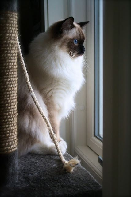 Life expectancy in Ragdoll Cats.Clcik the picture to read