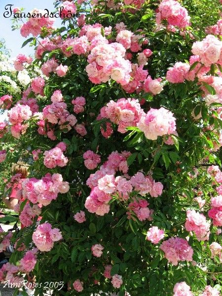 10 best images about rosiers sans pines thornless roses - Rosier grimpant sans epine ...