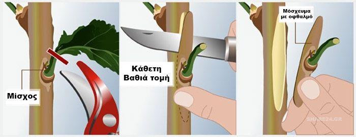 Πως να κανετε εμβολιασμο (μπόλιασμα) σε καρποφόρα δέντρα στην κήπο σας…