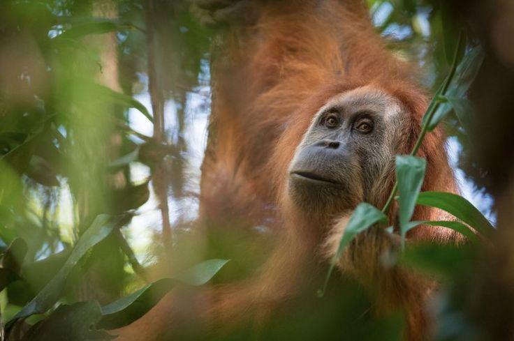 Sumatra: Neue Orang-Utan-Art entdeckt - SPIEGEL ONLINE - Wissenschaft
