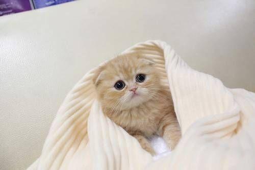 Scottish Fold kitten.