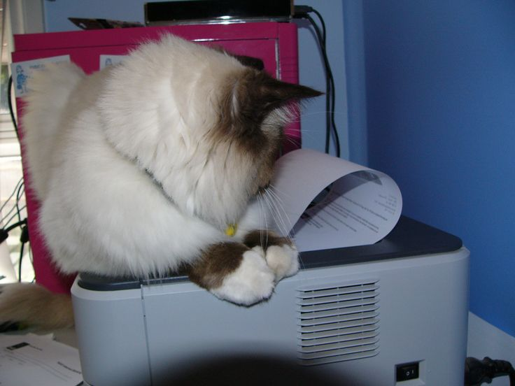 Puss the ragdoll obsessed with paper magically appearing from his favourite big square box ie printer