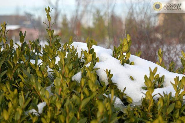 Ogrodnicza Obsesja: Krótki post o zimie