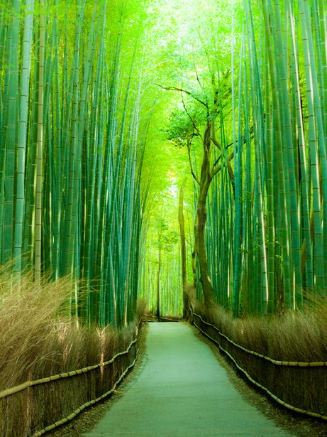Bamboo pathway in Kyoto, Japan. Bamboo, tree or grass? It's beautiful and I love trees. I'm allergic to grass. Therefore, for me bamboo is a tree.