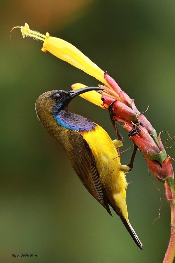 Cinnyris jugulares, o pássaro do sol ou barriga amarela, encontrado do Sul da Ásia até a Austrália.
