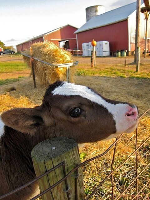 Even if you love barns (as I surely do) this adorable little calf grabs your attention immediately and you notice the barn in the background sometime later.