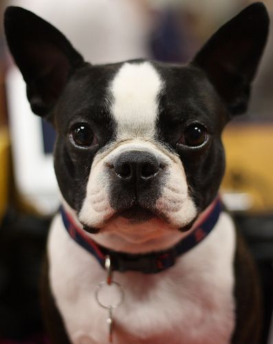 boston terrier | check out my tuxedo | mindync | Flickr