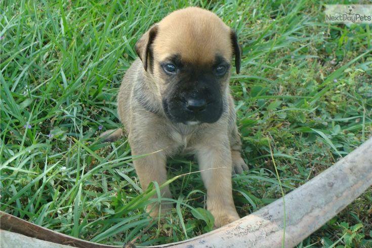 Bullmastiff Puppy For Sale Near Ft Myers Sw Florida Florida
