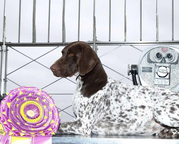Westminster Dog Show 2016: CJ the German Shorthaired Pointer Wins Best in Show |  CJ poses atop the Empire State Building on February 17. (Ph: John Lamparski) http://www.forbes.com/sites/kristintablang/2016/02/16/westminster-dog-show-2016-cj-german-shorthaired-pointer/#6b63530b7559