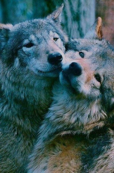 Wolfs | via Tumblr