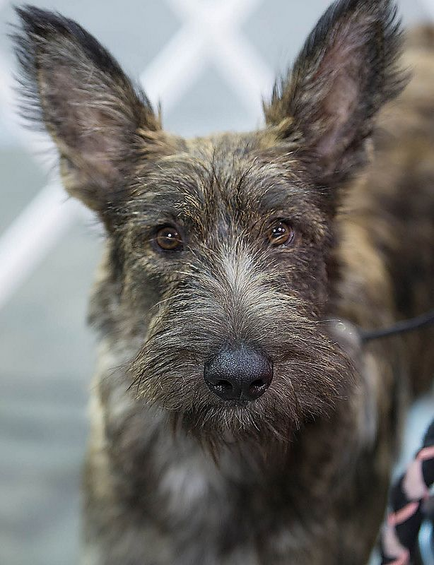 Berger Picard Dog Photo Lifestyle Pinup Real Estate Dog