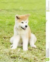 puppies akita