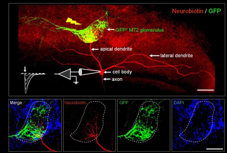 A study recently published in Neuron may provide new insights into how memory forms in the brain. Researchers discovered acquired olfactory memory is associated with synaptic long term potentiation, which can last for at least two weeks.
