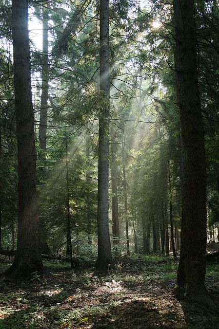 Forest light - Carpathian Mountains, Romania