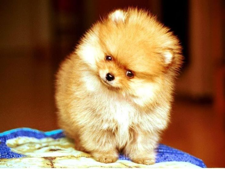 pomeranian | My Funny Pets