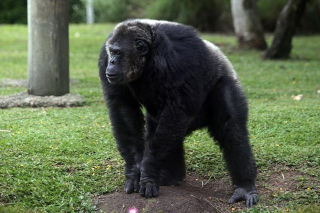 Chimpanzé do Zoológico de Curitiba.  Curitiba, 23/03/2013 Foto: Jaelson Lucas / SMCS