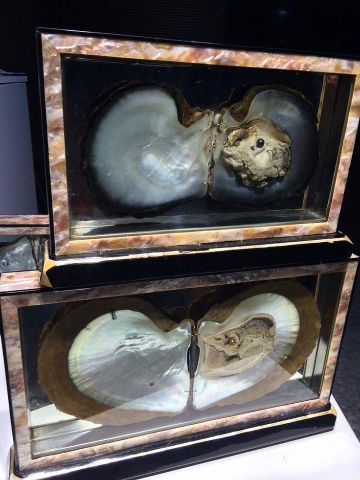 Marine molluscs Pinctada maxima and Pinctada margaritifera, which grows South Sea pearls and Tahiti pearls.   Морские моллюски Pinctada maxima и Pinctada margaritifera, в которых выращивается морской жемчуг Южных морей и Таити.   #longbeachpearl #vietnam #hochiminh #nhatrang #muine  #phuquoc #pearls #вьетнам #хошимин #нячанг #муйне #фукуок #жемчуг #famous #luxury #brand #jewelry #ngoctrai #trangsucngoctrai #ngoctraicaocap #muangoctrai #love #like