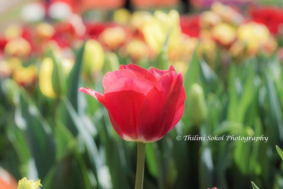 Gorgeous Red Tulip!