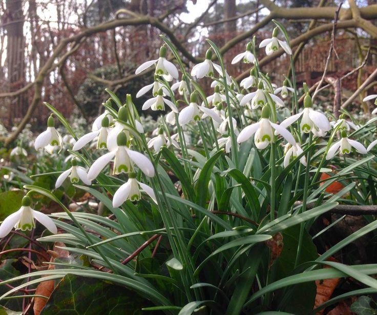 Duizenden sneeuwklokjes in de tuin (maart)