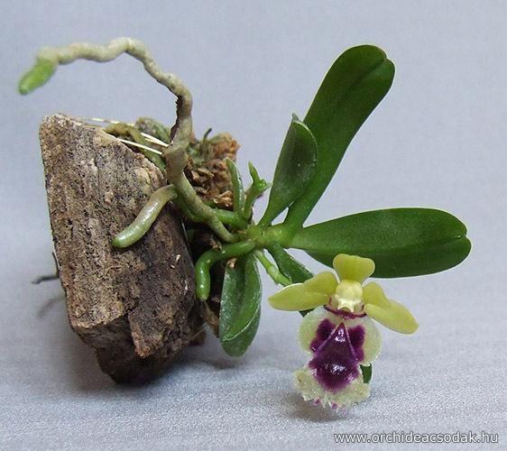 Orchideacsodák - Virágbolt - Orchideák - Haraella odorata (syn. Haraella retrocalla) orchidea