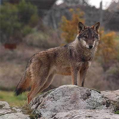 lobo iberico - fauna y flora de espana