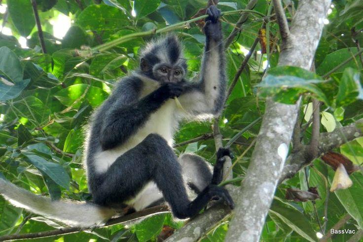 Gunung Leuser National Park | Thomas Leaf Monkey, Gunung Leuser National Park, Sumatra
