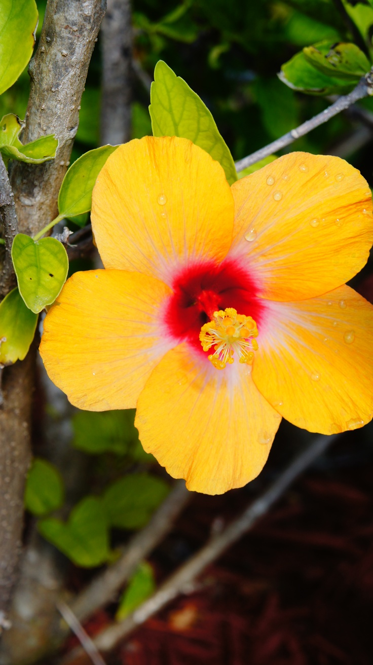 229 best tropical caribbean flowers plants flora images on hibiscus in the bahamas mightylinksfo