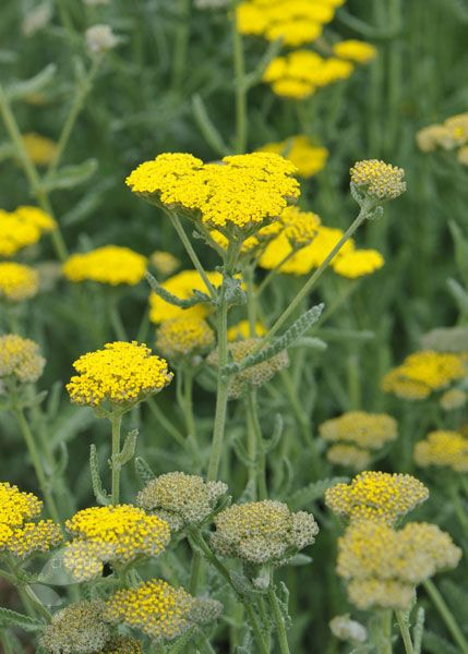 Achillea 'Moonshine'.  Full sun.  Flowers June to September.  Garden care: Cut down to the ground in late winter, but resist the urge to do this earlier, as the seed heads look lovely in the winter light. Pull out seedlings as they appear, as they rarely match the host plant. Lift and divide large clumps in late autumn or early spring.