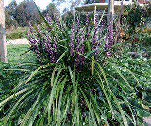 Liriope muscari 'Amethyst'. 40cm x 40cm. Good for garden beds. Full to heavy shade, all soil types.