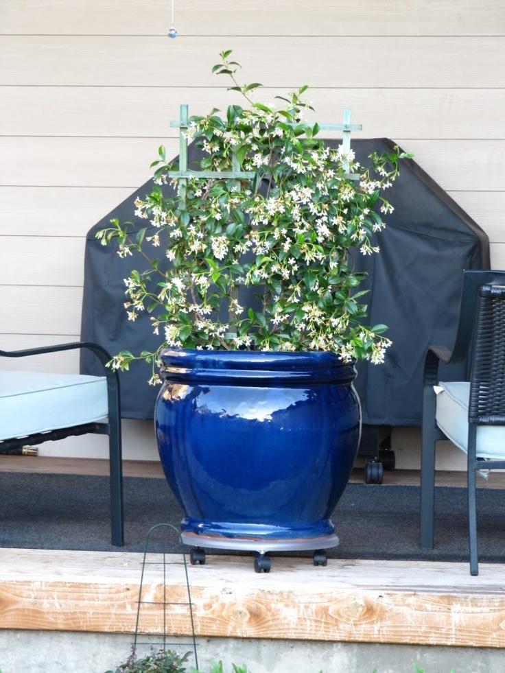 Star Jasmine in a pot with trellis.