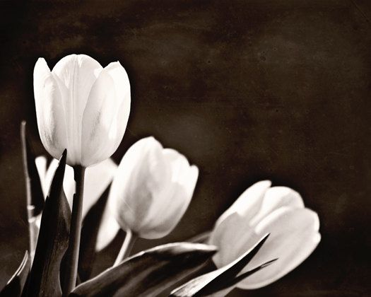 Flowers black white tulips