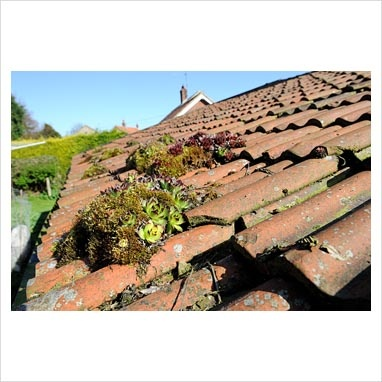 House Leeks on old tiled roof, Norfolk, UKphotography