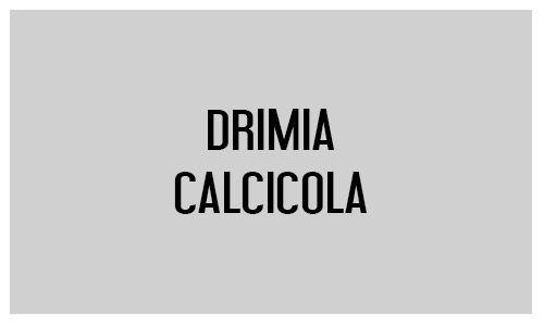 Drimia calcicola