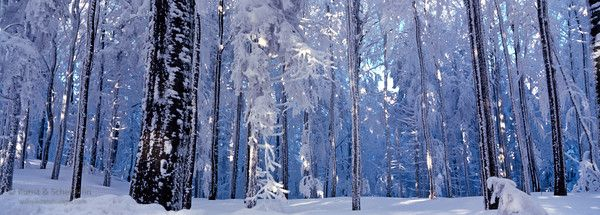Blue winter forest