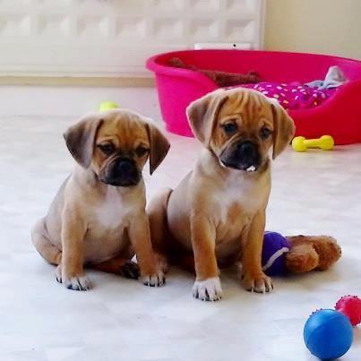Double Trouble Puggles (Pugs + Beagles = Puggles)