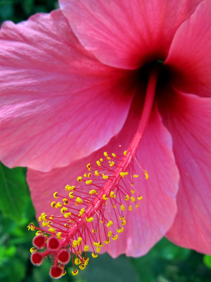 Detail of a pink hibiscus flower. Click to shop the print online at Matthew Williamson.