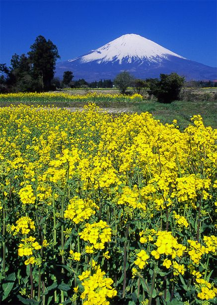 Tenderstem broccoli and Mount Fuji, Shizuoka, Japan