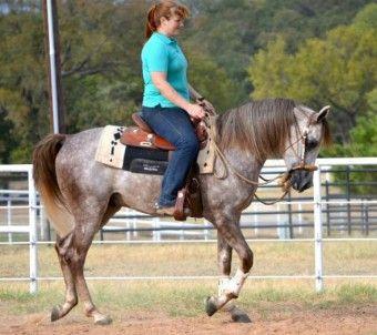 Comprar caballo (Pura Raza Arabe), (Pura Sangre Árabe), (Doma clásica), (Gris) en venta