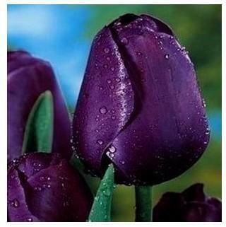 Tulip bonsai, not tulip bulbs, hydroponic bonsai flower tulip seeds - 3 seeds