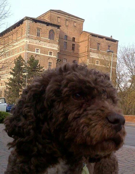 Elvis ~ Lagotto Romagnolo Pup ~ Classic Look