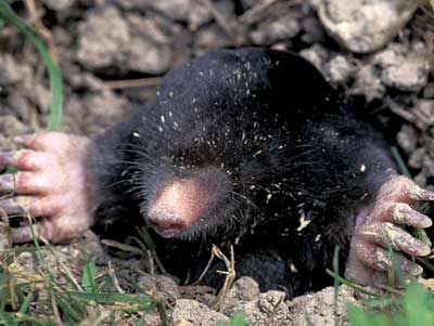 Do you have moles? or voles? or both? Had NO Idea they weren't the same. Apparently we have VOLES, so we are now definitely getting KITTIES. And Mousetraps. No more dead bushes!