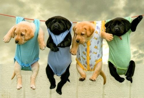 these labs are so cute