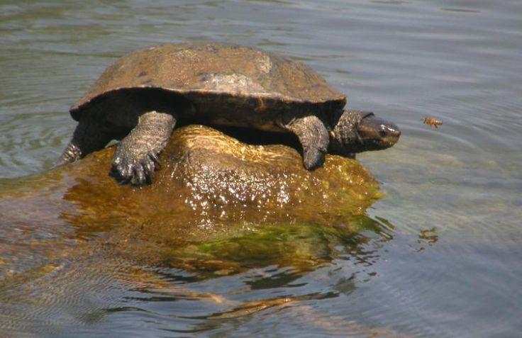 Afrika'nın Kasklı Kaplumbağası