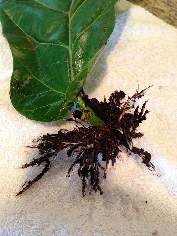 How to propagate a fiddle leaf fig from a single leaf