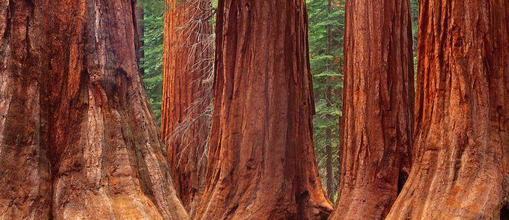 Giant Sequoia trees, Mariposa Grove, Yosemite National Park, CA