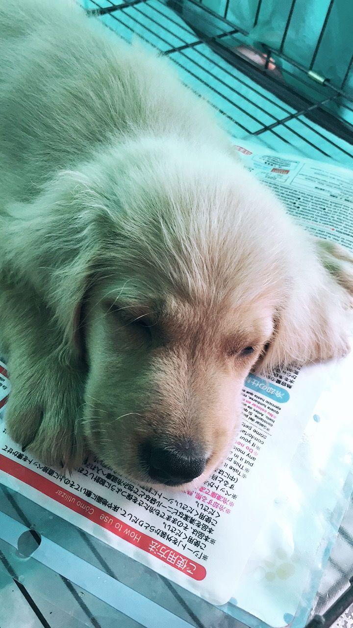 #goldenretriever #golden #retriever #puppy #cute #goldenretrieverpuppy